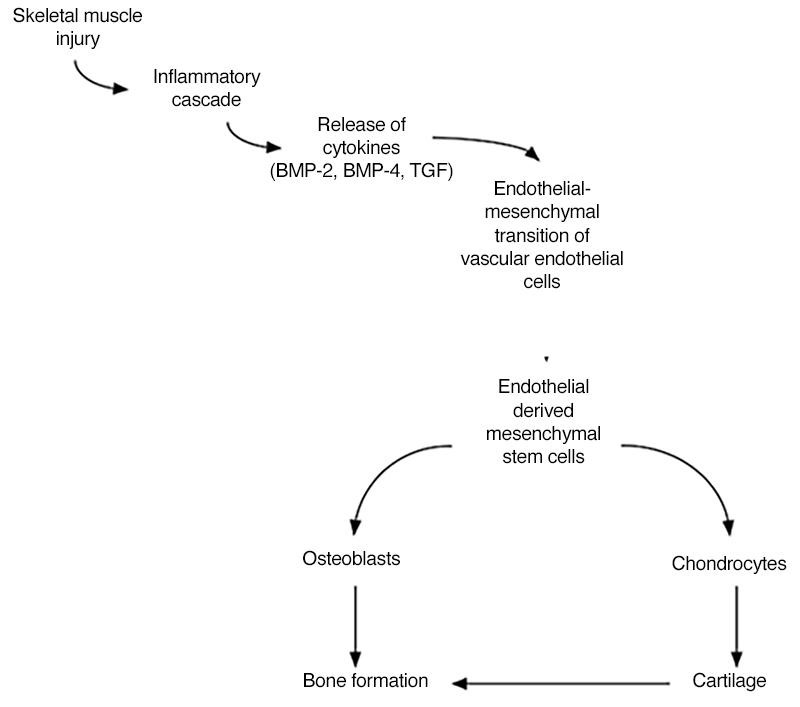 Figura 2 Myositis Ossificans Brian e walczak, Christopher n Johnson, b Matthew Howe pmid